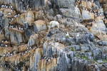 Young male polar bear rests and hunts nesting seabirds on rocky cliff of Coburg Island, NW Passage, Nunavut, arctic Canada.