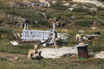 Sled dogs sit by their kennels at Ilulissat, Greenland