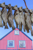 Turbot, also called Greenland halibut, dry on a rack outside one of Ilulissat's colorfully painted houses in Greenland