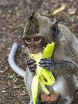 Monkey eats banana at tourist stop in Cambodia.