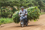 Man drives motorcycle with large load of corn on Koh Dach, a rural island off Phnom Penh, Cambodia.