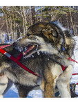 Sled dogs have their icy breath frozen on their faces from running hard in cold weather. Churchill, Manitoba, Canada.