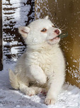 Female Canadian Eskimo Dog puppy, about two months old.
