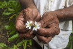 Flower from a local mangrove tree actually grows in what looks like half a flower. Kosrae, Micronesia.