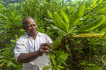 Local man shows mangrove tree that is used for medicinal purposes by people living on Kosrae, Micronesia.