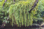 Huge fern grows along a horizontal tree branch in a mangrove swamp of Kosrae, Micronesia.