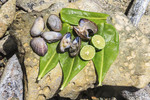 Raw clams and fresh limes sit on mangrove leaves, ready to eat as a snack. Kosrae, Micronesia.