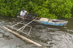 Local man collects mangrove crabs from his crab traps at the edge of a mangrove forest on Kosrae, Micronesia.