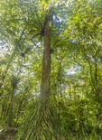 Ka tree covered with ferns in Yela, a protected forest of these hardwood trees on Kosrae, Micronesia.