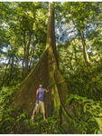Man inspects a ka tree in Yela, a protected forest of these hardwood trees on Kosrae, Micronesia.