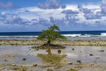Ancient mangrove tree that has been stunted by harsh conditions into a form of bonsai. It is known locally as fuloful and here, is growing among the shells and rocky sand of a beach, shown at low tide. Kosrae, Micronesia.