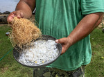 Local man demonstrates how to shred fresh coconut. Kosrae, Micronesia.