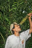 Local native man demonstrates how to drink water from jungle plant by cutting vine and letting water dribble out. Kosrae, Federated States of Micronesia (FSM).