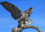 Great horned owl as he starts to take off to fly.