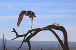 Prairie falcon in flight.