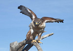 Ferruginous Hawk taking off for flight.