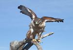 Ferruginous Hawk taking off for flight.