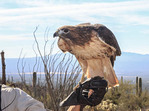 "Red-tailed Hawk (Buteo jamaicensis) is a bird of prey, one of three species colloquially known in the United States as the ""chickenhawk,"" sits on the hand of a handler at the Arizona Sonora Desert Museum."