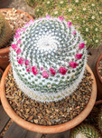Mammillaria hahniana is a species of flowering cactus native to central Mexico.