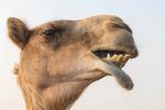 Closeup of a camel outside Dubai, UAE.