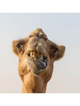Closeup of a camel outside Dubai, UAE.