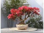 Blooming 40-year-old azalea on display at Dr. Sun Yat-Sen Classical Chinese Garden in Vancouver; British Columbia, Canada.