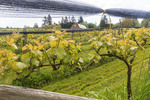 Grape vines growing in late spring at Vista D'oro, a small family owned winery and grape orchard south of Vancouver, British Columbia