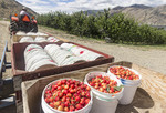 Freshly picked Orondo Ruby cherries in buckets at G&C Farms outside Wenatchee, WA, USA.