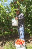 Worker picks Orondo Ruby Cherries at G&C Farms outside Wenatchee, WA, USA.