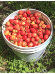 Freshly picked Orondo Ruby cherries in a bucket at G&C Farms outside Wenatchee, WA, USA.