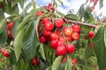 Orondo Ruby cherries growing on the tree near Wenatchee, WA, USA.