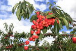 Orondo Ruby cherries growing on the tree near Wenatchee, WA, USA.
