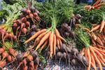 Carrots and beets at Regina's twice weekly farmer's market, Regina, Saskatchewan, Canada.