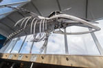 Skeleton of a minke whale hangs in the Elding Whale Watching Centre at Reykjavik's tourist waterfront