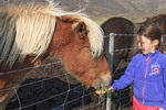 Young girl feeds grass to Icelandic horses a small horse developed in Iceland from Scandinavian ponies