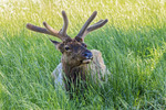 Closeups of whitetail deer in tall grass in middle America.