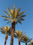 trimmed date palm trees in Nevada.