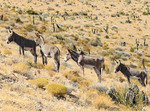Wild burros in Red Rock Canyon National Conservation Area, 20 miles west of Las Vegas, NV, USA