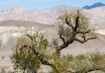 Picturesque tree in Death Valley National Park.