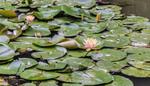 Blooming lotus flowers.