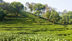 A carpet of tea plants at Meijiawu Tea Village on the west end of Hangzhou's West Lake.