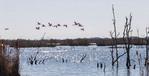 Roseate spoonbills (Platalea ajaja) fly over marsh near Lake Charles, LA.