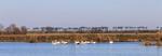 Pelicans (Pelecanus erythrorhynchos) swim in marsh owned by Sweet Lake Land & Oil