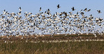 Snow geese also called blue geese take off from marsh in Cameron Prairie National Wildlife Refuge near Lake Charles, LA.