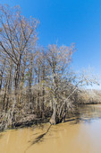 Southern Louisiana bald cypress forest in winter. (Taxodium distichum)