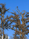 Bald eagle in a winter bare cypress tree in southern Louisiana.