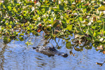 Young alligator swims among water hyacinths in marsh in southern Louisiana.