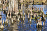 Cypress knees in southern Louisiana marsh