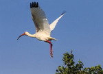 An American white ibis in flight, seen in a marsh in Cameron Parish, Louisiana.