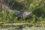 Alligator seen during drive along three mile Pintail Wildlife Drive in Cameron Prairie National Wildlife Refuge, SW Louisiana.